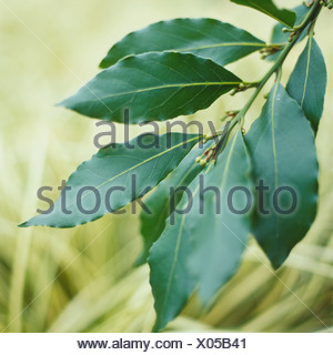 Laurus nobilis f. angustifolia, willow Leaf Bay, pointed oval dark green leaves with shiny upper surface, - Stock Photo