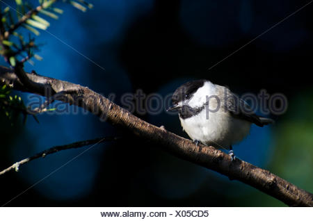 Black-Capped Chickadee Perched on Branch - Stock Photo