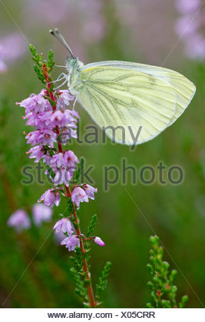 Green-veined white, Green veined white (Pieris napi, Artogeia napi), sucking nectar at the flowers of heath, Calluna vulgaris, Germany, Schleswig-Holstein - Stock Photo