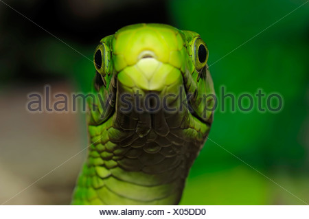 Eastern Green Mamba (Dendroaspis angusticeps), venomous snake, portrait, native to Africa, in captivity - Stock Photo