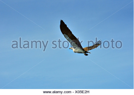 White-bellied Sea Eagle (Haliaeetus leucogaster), Raja Ampat, West Papua, Indonesia - Stock Photo