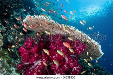 Colorful Anthias in Coral Reef, Pseudanthias sp., Raja Ampat, West Papua, Indonesia - Stock Photo