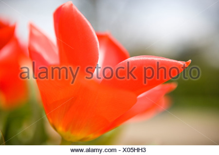A red tulip in full bloom - Stock Photo