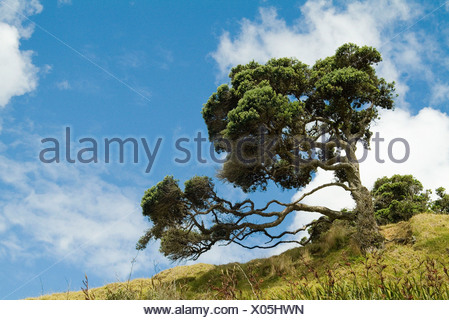 Northern Rata Tree  - Stock Photo