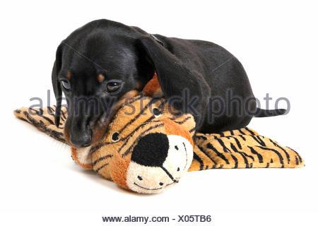 Kurzhaardackel, Kurzhaar-Dackel, Kurzhaarteckel, Kurzhaar-Teckel, Teckel, Dachshund (Canis lupus f. familiaris), Welpe liegt auf - Stock Photo