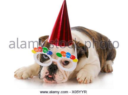 isolated, animal, pet, mammal, face, hat, celebrate, reveling, revels, - Stock Photo