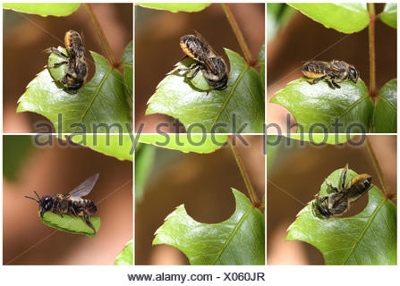 Leaf-cutting Bee (Megachile species) sequence showing cutting leaf section from rose. Read from top left. Surrey, England. Digital composite. - Stock Photo