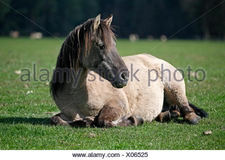 Dülmen wild horse, Dülmen, North Rhine-Westphalia, Germany - Stock Photo