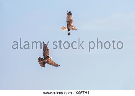 Western Marsh Harrier (Circus aeruginosus), male presenting the female the prey in flight , Germany, Bavaria, Oberbayern, Upper Bavaria - Stock Photo