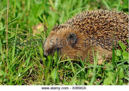 Hedgehog, bristling, Erinaceus europaeus, Common hedgehog, European, summer, hedgehog, summer, animal, animals, Germany, Europe, - Stock Photo