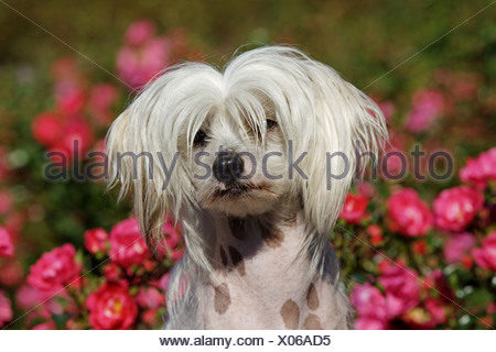 Chinese Crested Dog (Canis lupus f. familiaris), 16 months old individual in front of a rose hedge, portrait - Stock Photo