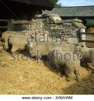7 month old lambs in a collecting pen coloured faces markings as part of a breeding experiment - Stock Photo