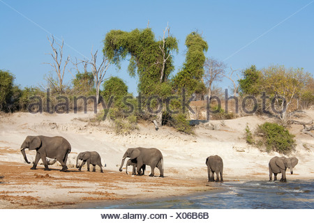 African Elephants (Loxodonta africana) breeding herd drinking at the bank of the Chobe River, Chobe National Park, Botswana - Stock Photo