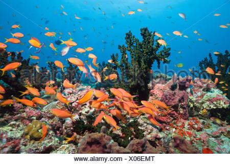 Flame Anthias in Coral Reef, Pseudanthias ignitus, Baa Atoll, Indian Ocean, Maldives - Stock Photo