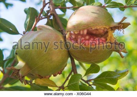 Pomegranates (Punica granata), split open on the tree, Ferragudo, Faro District, Portugal - Stock Photo