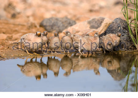 chicks of a sand partridge (Ammoperdix heyi) is a gamebird in the pheasant family Phasianidae of the order Galliformes, gallinac - Stock Photo