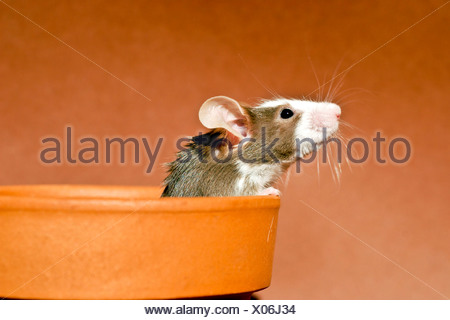 house mouse (Mus musculus), fancy mouse looking out of a shell - Stock Photo