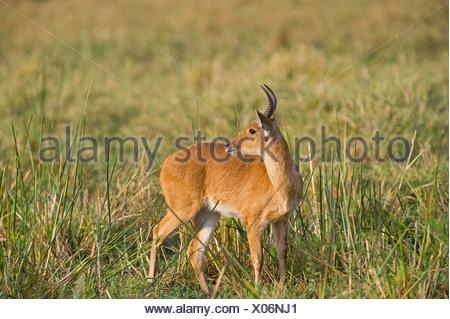 Bohor Reedbuck Redunca redunca Masai Mara Kenya - Stock Photo