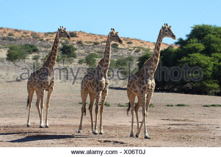 giraffe (Giraffa camelopardalis), three animals walking through the steppe side by side, South Africa, Kgalagadi Transfrontier NP - Stock Photo