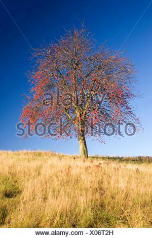 Gewoehnliche Eberesche, Gemeine Eberesche, Vogelbeere (Sorbus aucuparia), fruchtend, Deutschland, Sachsen | European mountain-as - Stock Photo