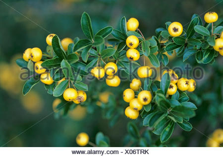 Asian firethorn (Pyracantha rogersiana), twigs with leaves and fruits - Stock Photo