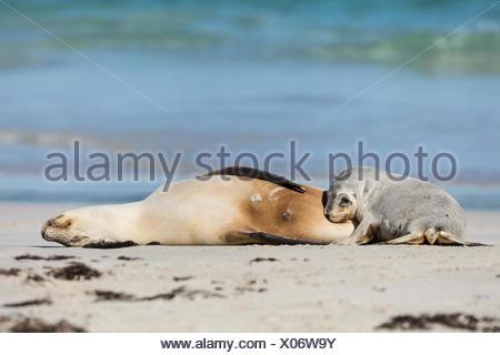 Australian sea lion female and baby, Neophoca cinerea, on the beach. - Stock Photo