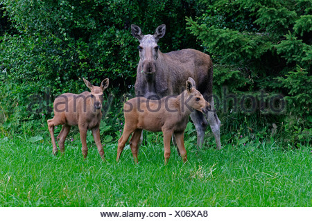 elk, European moose (Alces alces alces), cow elk standing with her two calf elks in front of a bush, Norway - Stock Photo