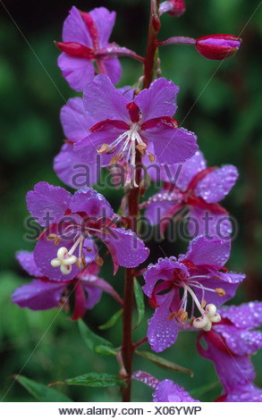 fireweed, blooming sally, rosebay willow-herb, great willow-herb (Epilobium angustifolium, Chamaenerion angustifolium), flowers - Stock Photo