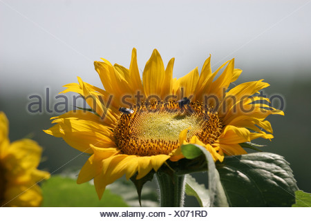 Leipzig, Germany, bee on a sunflower - Stock Photo
