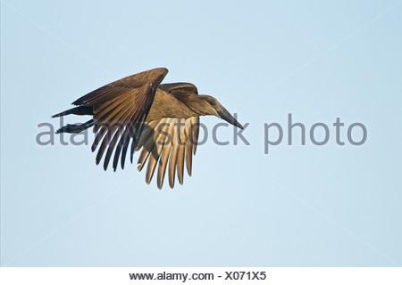 Hamerkop (Scopus umbretta) adult, in flight, Okavango Delta, Botswana - Stock Photo
