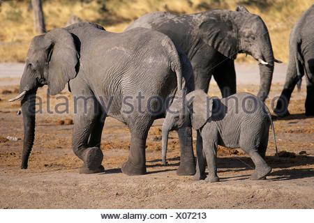 Elephants and Calf Savuti Region Near Chobe National Park Botswana, Africa - Stock Photo