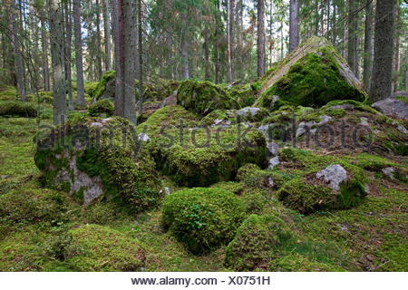 View of coniferous tree trunks along mossy stones in the forest - Stock Photo