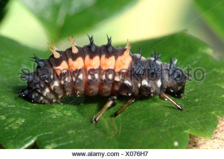 multicoloured Asian beetle (Harmonia axyridis), larva on a leaf, Germany - Stock Photo