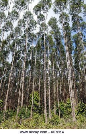 Eucalyptus plantation in the Amazon rainforest, Amapa, Brazil - Stock Photo