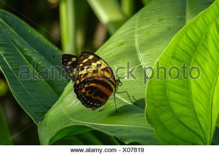 Tropischer Schmetterling, Edelfalter (Heliconius xanthocles) - Stock Photo