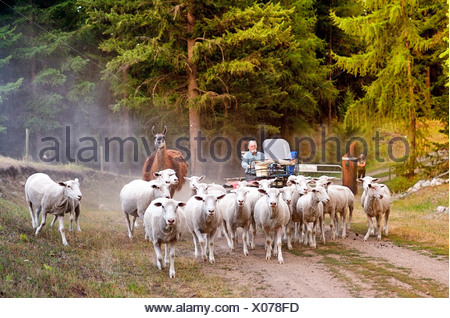 herding sheep on Sage farm, Rock Creek, British Columbia, Canada, Agriculture, People, farming, model Released - Stock Photo