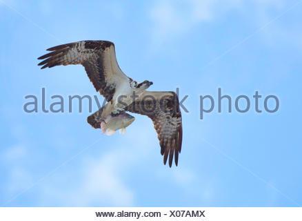 osprey, fish hawk (Pandion haliaetus), flying with caught Tilapia, USA, Florida, Kissimmee - Stock Photo
