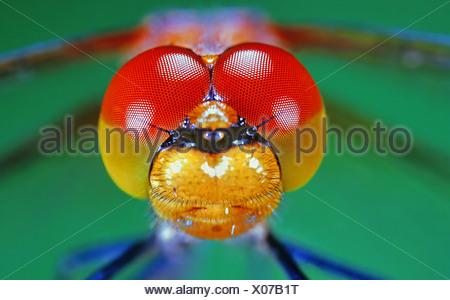 Eyes of a Vagrant Darter (Sympetrum vulgatum) - Stock Photo