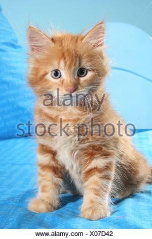 Siberian cat - kitten sitting on bed - Stock Photo