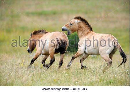 Semi wild Przewalski horses (Equus ferus przewalskii), stallion biting another stallion to chase it from his herd, Parc du Villaret, Causse Mejean, Lozere, France - Stock Photo