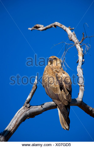 wedge-tailed eagle (Aquila audax), sitting on a dead tree, Australia, Northern Territory, West MacDonnell National Park - Stock Photo