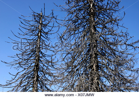 Dead spruces (Picea), Black Forest, Baden-Wuerttemberg, Germany, Europe - Stock Photo