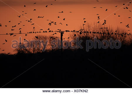 Rook (Corvus frugilegus) and Jackdaw (Corvus monedula) mixed flock, in flight and perched on overhead wires, arriving at roost, - Stock Photo