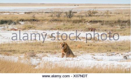 Lion (Panthera leo), male sitting on the edge of the Etosha Pan, Etosha National Park, Namibia