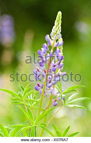 Lupine (Lupinus polyphyllus), flower, Austria - Stock Photo