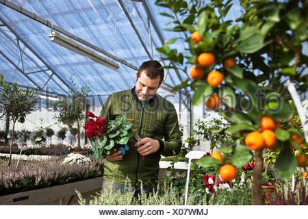 Gardener working in greenhouse - Stock Photo