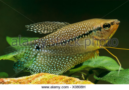 Three spot gourami / Trichogaster trichopterus - Stock Photo
