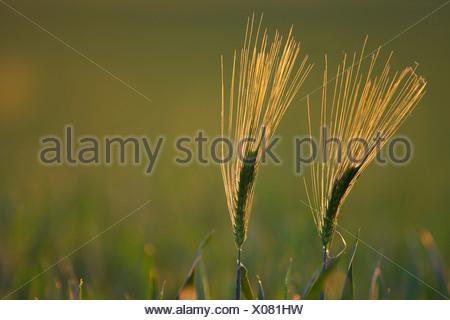 barley (Hordeum vulgare), two ears in backlight, Belgium - Stock Photo
