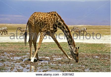 Masai Giraffe, giraffa camelopardalis tippelskirchi, Adult Drinking, Masai Mara Park in Kenya - Stock Photo