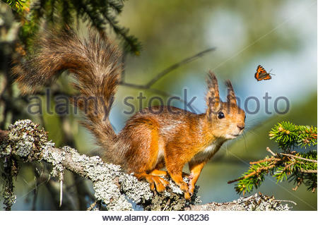 Squirrel looking at flying butterfly - Stock Photo